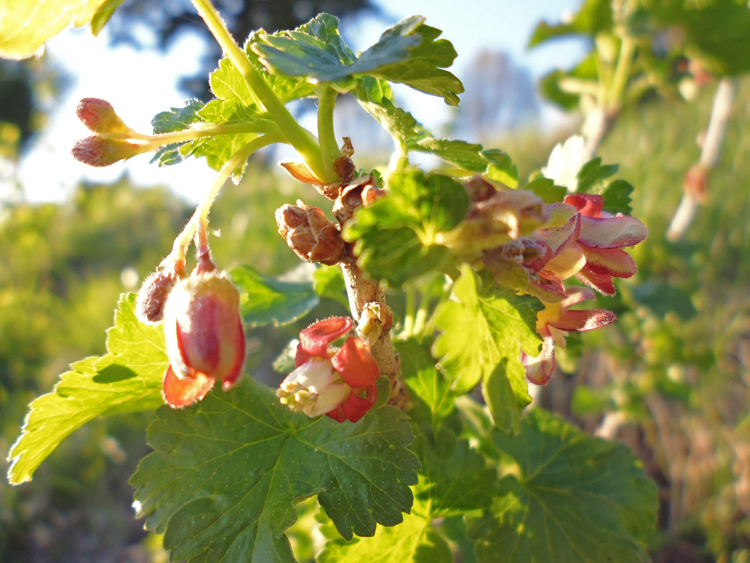 Jostaberry in bloom