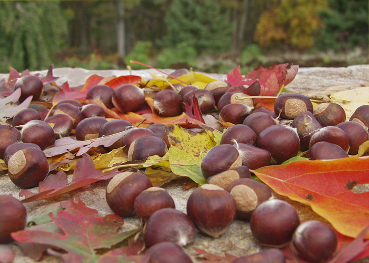 Sweet edible chestnuts