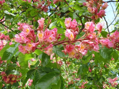 Pink chestnut blossom