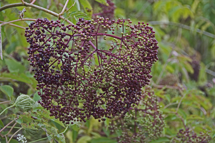 Elderberries ripening
