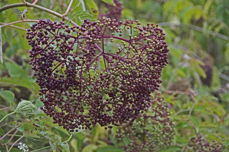 Elderberries ripening