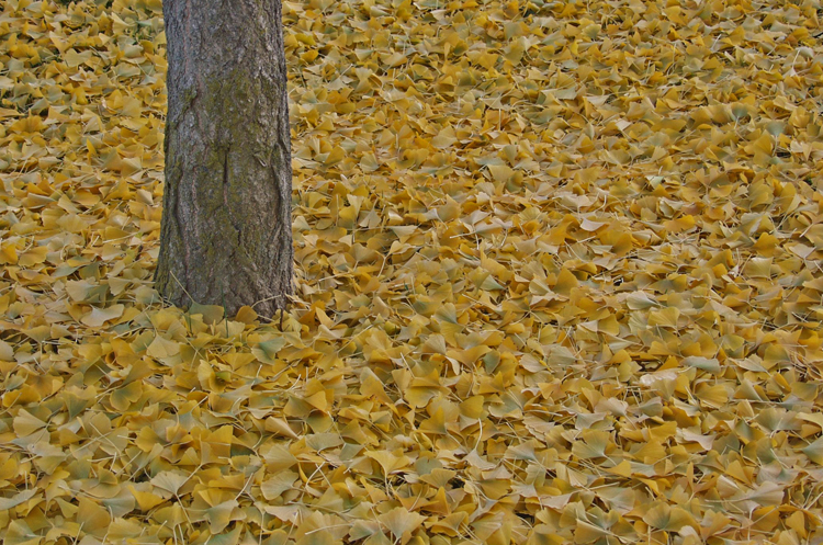 Gingko with autumn leavesall